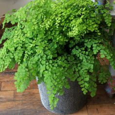 Maidenhair Fern-in the bathroom, low light ok, moisure, humidity. I have been looking everywhere for this plant but couldn't think of the name of it!