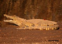 We caught this little crocodile basking in the sun down by the river this afternoon. #krugerpark #crocodile #wildlife www.outlook.co.za