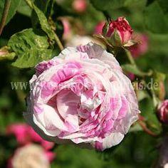 Centifolia Variegata #2 - Mehrfarbig - Rosa_centifolia - Historische_Rosen - Rosen - Rosen von Schultheis