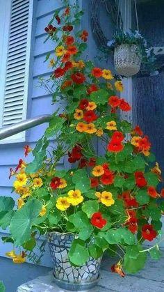 Flowering houseplants for beginners - #beginners #bluhende #Flowering #houseplan... | 1004 Container Flowers, Flower Planters, Container Plants, Container Gardening, Container Design, Gardening Zones, Fine Gardening, Gardening Vegetables, Garden Plants