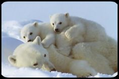 Famille d'ours blanc