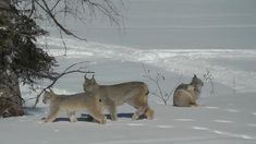 (Video) Canada Lynx family in our backyard! Northern Ontario. SO BEAUTIFUL and AWESOME!!