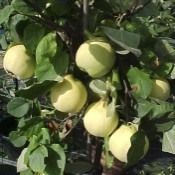 Quince Vranja, £28.50 (http://www.readsnursery.co.uk/products/Quince-Vranja.html)