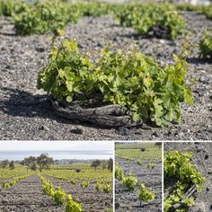 White grape varieties of Assyrtiko, Aidani and Athiri Wine Vineyards, Sweet Wine, Crete, Santorini, Herbs, Nature, Gardening, Outdoor, Travel