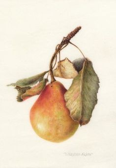 Mary Jane's Pear<br />Watercolor on Vellum<br />SOLD<br />