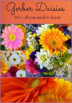 Gerber Daisies planting, growing, enjoying  All you need to know - you say Gerbera, I say Gerber...we all smile looking at these flowers!