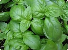 Sweet Basil Herb Plant Non GMO Two 2 Live Plants  Not Seeds Each 47tall in 35 Inch Pots *** Read more  at the image link.