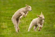 Google Image Result for lamb http://www.rspb.org.uk/community/resized-image.ashx/__size/550x0/__key/communityserver-blogs-components-weblogfiles/00-00-00-08-84/0572.lambs550.jpg