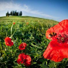 È esplosa la primavera in Toscana. #madeintuscany #tuscany #tuscanygram #toscana #cipressi #siena #igerssiena #igerstoscana #igersitalia #italia #italy #travel #nature #flower #spring #picoftheday #jj #instaghesboro #instagood #instamood #valdorcia #sun #green #papaveri | by madeintuscany | Look on Instagram: http://ift.tt/1g322La