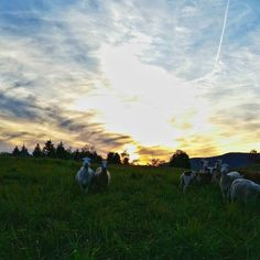 This is how you know you're in the right line of work. #happy #sheep #Vermont #sunset