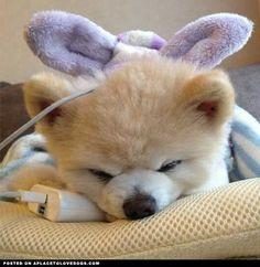 Fluffy Pomeranian Shun • APlaceToLoveDogs.com • dog dogs puppy puppies cute doggy doggies adorable funny fun silly Via @shunsuke_ekusnuhs