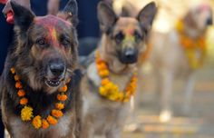 Nepalese police dogs, after being smeared with vermillion on their foreheads and marigold garlands placed around their necks on the occasion of the Tihar (Diwali) festival in Kathmandu, on November 13, 2012. On Tihar, it is customary in Nepal for people to offer blessings to dogs, which, according to Hindu tradition, are the messengers of Yamaraj, the god of death.