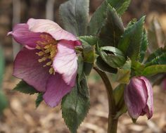 Hellebore is one of my top 5 shade gardening plants. I had bunches of German hybrids on my nursery gardens but am slowly collecting in this new garden (with about 7 varieties now)  Love 'em.  Some gardener says they're drought plants - yeah they'll survive but not thrive
