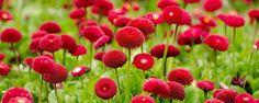 Jardim Vermelho! - Flores Vermelhas para o Verão A cor vermelha associada ao Natal pode ser usada para ornamentar diversos recantos no jardim no verão todo, já que podemos encontrar inúmeras plantas que tem florações nesta cor tão chamativa.  Árvores e arbustos são perenes e nos brindam a cada ano com suas flore... - http://www.datalogger.com.br/ecoblog/2017/01/12/jardim-vermelho/