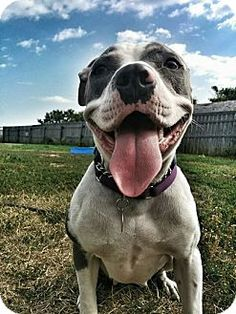 Calgary, AB - Pit Bull Terrier Mix. Meet Grace2, a dog for adoption. http://www.adoptapet.com/pet/11264941-calgary-alberta-pit-bull-terrier-mix