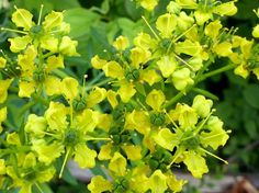 Ruta graveolens [Common rue] has interesting, lacy bluish foliage and greeny-yellow flowers.  All the scent is in the leaves -- bitter and stimulating.