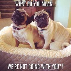 Cute pugs!!