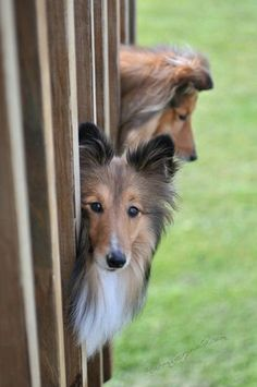 from Sheltie Planet