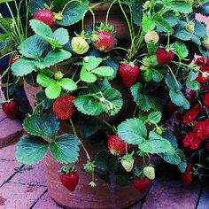 Strawberry growing http://media-cache2.pinterest.com/upload/191473421627493104_YCjNcORO_f.jpg jgouirandvey ze garden