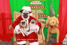 Santa Pug was at Fluffy Puppies this past Saturday, posing for pictures. Fluffy Puppies was able to donate $1600 to Suncoast Hospice for their Pet Peace of Mind program which helps hospice patients keep their pets home with them throughout their end of life journey. #Pugs #Poodles #Santa #SantaPug #Peace #Hospice