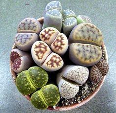 Lovely Lithops - I've always loved these!