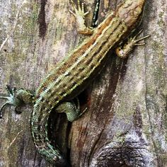 Lizard while walking in menstrie woods. Captured this climbing a fence post