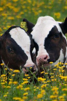 Aww best friends for ever.  www.stanpacnet.com  #Cows #Calves #Dairy #Farm #Facts