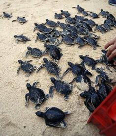 Sea Turtles ~ running for their little lives ~ towards the ocean; their inherent instinct drives them towards the sea...