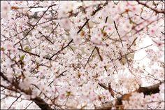 Layers of Sakura