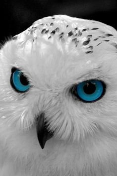"This Snowy Owl's ""blue eyes"" were altered. The Snowy Wwl's natural eye color is yellow to orange - in fact, their piercingly bright yellow eyes are one of their most distinctive features."