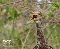 La! La! La! This limpkin couldn't resist sharing his morning song with us as we floated past its nest! #CAMPmayakoba