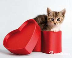 Gracie (Domestic Shorthaired) - You blow the lid off my heart  (pic by Rachael Hale)