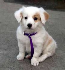 English Shepherd is attentive and natural-looking puppy