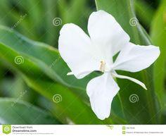 jengibre-blanco-o-mariposa-flor-nacional-cubana-49273040.jpg 1,300×1,066 pixels