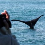Book memorable Hermanus whale tour with Southern Right Charters. Hermanus is the capital of the Cape Whale Coast, and whale season runs from June to December each year. Whale Watching, Southern, The Incredibles, Tours