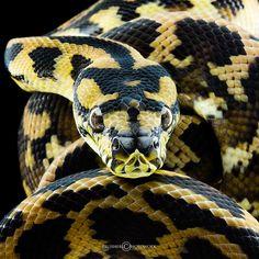 the viper by felixheru.deviantart.com on @deviantART  Not a viper but a Carpet Python, completely harmless snake...totally gorgeous capture.