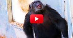 You'll Love When This Chimpanzee Sees the Blue Sky for the Very First Time… | The Rainforest Site Blog