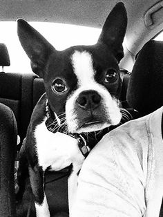 Boston Terrier. I'm getting lost in this pup's gorgeous eyes.