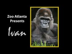 """Ivan was a western lowland gorilla who lived at Zoo Atlanta from 1995 – From his early beginnings as the """"Shopping Mall Gorilla"""" in Tacoma, Washington,. Ivan The Gorilla, Gorilla Zoo, 4th Grade Books, 4th Grade Reading, Fourth Grade, Second Grade, One And Only Ivan, Atlanta Zoo, Baby Animals Pictures"""