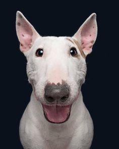 ▷ 1001 + Bilder für ein lustiges Hintergrundbild, das Ihre Stimmung hebt Idée fond d écran d animaux fond d écran humour fond ecran drole image - Monde Des Animaux Chien Bull Terrier, Bull Terrier Puppy, Dog Photos, Dog Pictures, I Love Dogs, Cute Dogs, English Bull Terriers, Smiling Dogs, Dog Photography