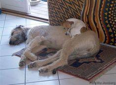 Buddies. (Irish Wolfhound/Jack Russel Terrier)