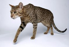 Ashera Cat - exotic domestic cat, part African Serval Cat, Part Asian Leopard, Part American House Cat - Totally Cool! Gato Serval, Serval Pet, Rare Cats, Exotic Cats, Cats And Kittens, Purebred Cats, Herding Cats, Ashera Cat, African Serval Cat