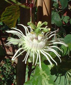 Passiflora trifasciata flower