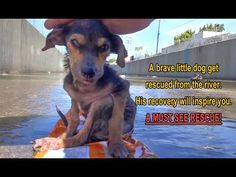 A brave little dog gets rescued from the river. His recovery will inspi...