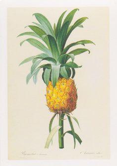 Bromelia ananas - Pierre-Joseph Redouté  #ciretrudon #art #illustration #scent #ananas #bromelia #scents #yellow #green