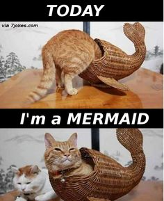 Meet The Mermaid Cat - 7JOKES - The Fun Strarts Here, Extremely funny posts, funny pics, funny designs, funny videos, pranks, funny animals and much more...