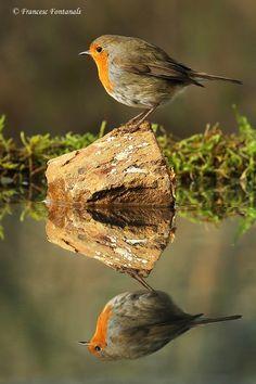 Photograph Robin by Francesc Fontanals on more with healing sounds: Pretty Birds, Beautiful Birds, Robin Bird, Rare Birds, Bird Pictures, Little Birds, Wild Birds, Bird Watching, Bird Feathers