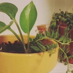 A sunny little pot of love. #plant #plants #plantsofinstagram #plantlove #plantlady #plantporn #plantgang #plantbabies #plantsmakemehappy #plantsmakepeoplehappy #houseplants #urbanjungle #growingthings #greenthumb #phytophilous #greenry #sunny #pot #love #sproutandstem
