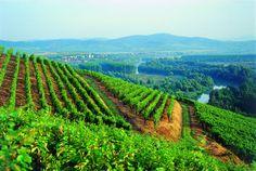 Vineyards in Tokaj