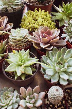 Все о суккулентах, кактусах и других редких растениях Leafy Plants, Variegated Plants, Foliage Plants, Green Plants, Potted Plants, Colorful Succulents, Colorful Plants, House Plants Decor, Plant Decor